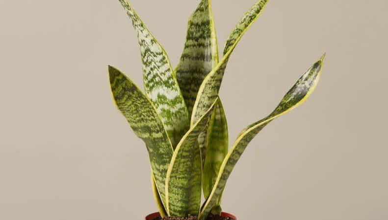 Aloe vera frais ou en bouteille : Y a-t-il une différence ?